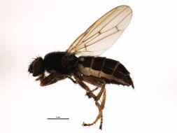 Image of <i>Coelopa frigida</i> (Fabricius 1805)