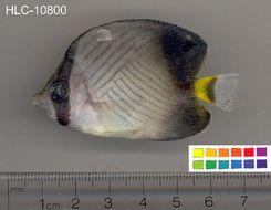Image of Black-finned Vagabond