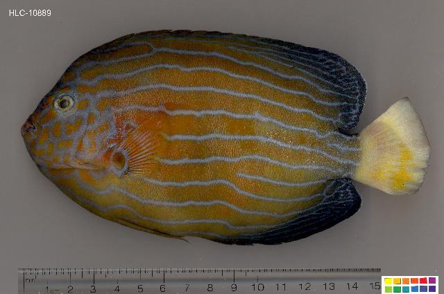 Image of Blue-striped Angelfish