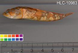 Image of Gulf Toadfish