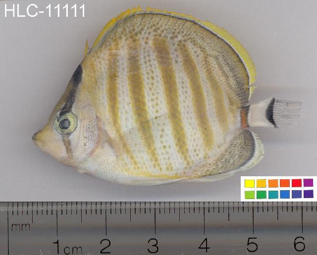 Image of Multiband Butterflyfish