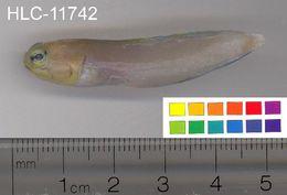 Image of Yellowhead Jawfish