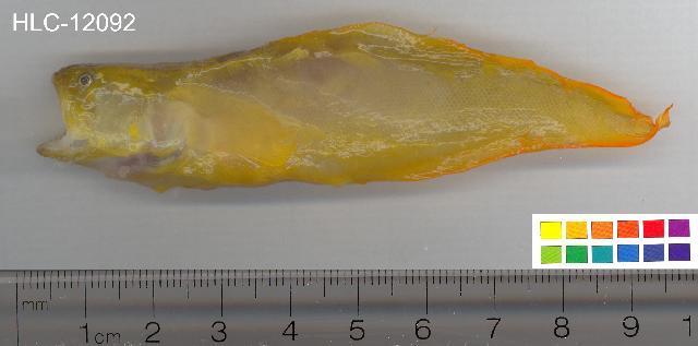 Image of <i>Diancistrus fuscus</i> (Fowler 1946)