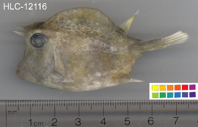Image of Four-Horned Trunkfish