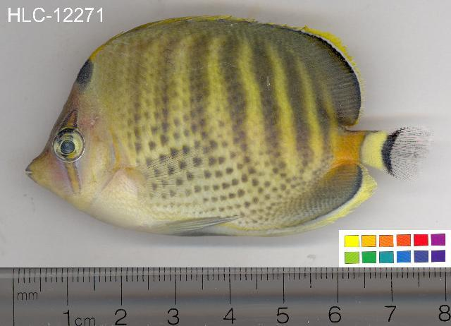 Image of Dot and dash Butterflyfish