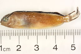 Image of Smith's fangblenny