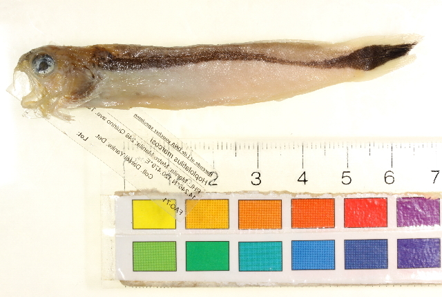 Image of Red-lined tilefish