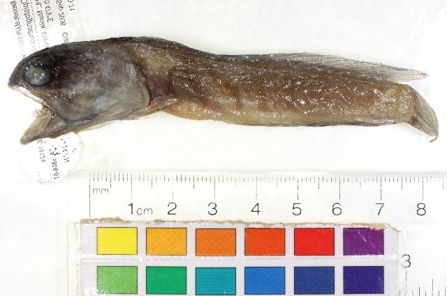 Image of <i>Opistognathus</i>