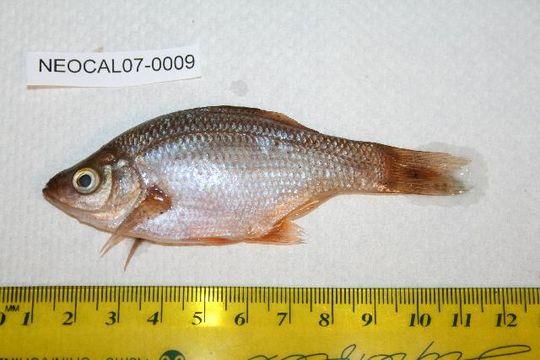 Image of Kelp perch