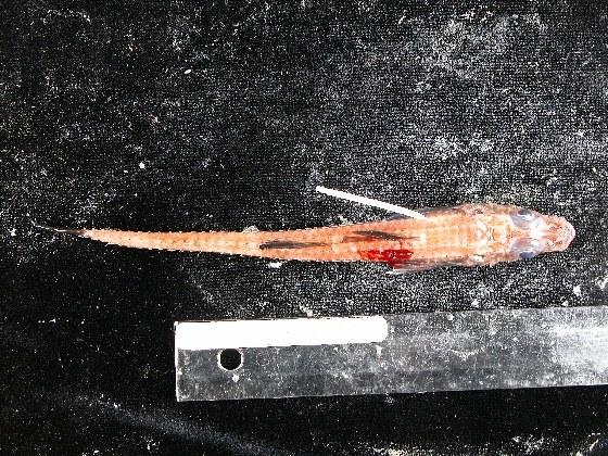 Image of blackfin poacher