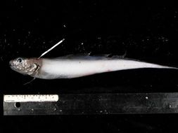 Image of <i>Bentartia pusillum</i>