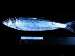 539.tzfpb clupea pallasii   herring tow 3 sample 37 008 jpg.260x190
