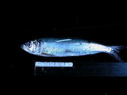 539.tzfpb clupea pallasii   herring tow 3 sample 39 010 jpg.260x190