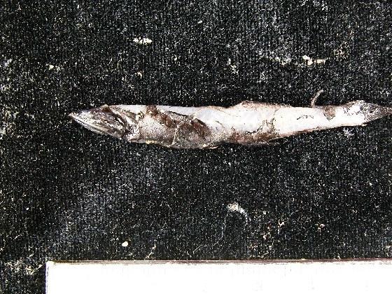 Image of black bristlefish
