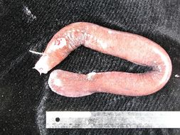 Image of Black Hagfish