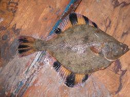 539.tzfpb platichthys stellatus   starry flounder tow 7 sample 160 001 jpg.260x190