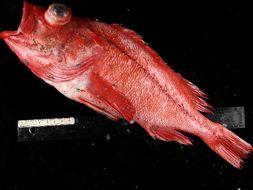 Image of Aurora rockfish