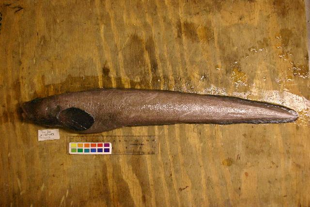Image of Scalynape eelpout