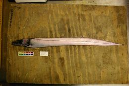 Image of Black scabbard fish