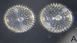Image of <i>Bleekeria mitsukurii</i> Jordan & Evermann 1902