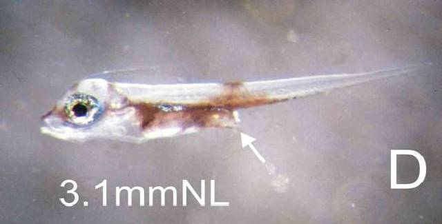 Image of <i>Monodactylus falciformis</i>