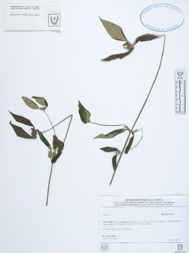 Image of buttonweed