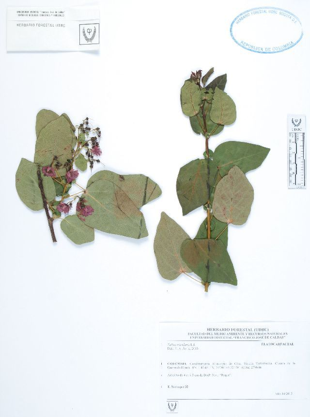 Image of Elaeocarpaceae