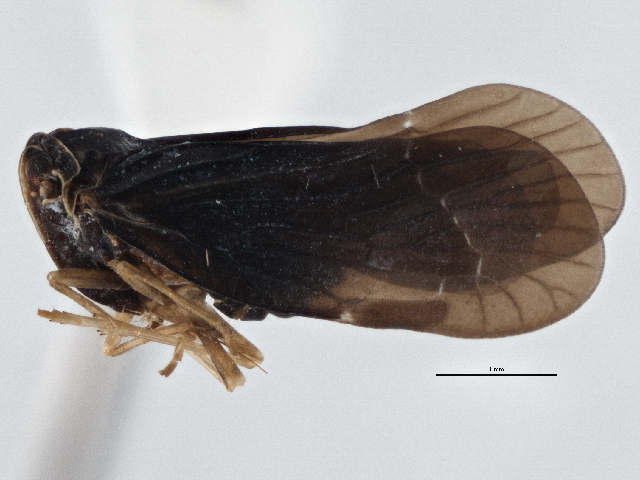 Image of <i>Cedusa obscura</i> (Ball 1902)