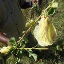 539.uhuru ead 12 026 hibiscus sp3 1406817998 jpg.130x130