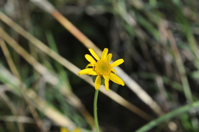 Image of <i>Emilia discifolia</i> (Oliv.) C. Jeffrey