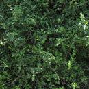 Image of <i>Lantana viburnoides</i> (Forssk.) Vahl