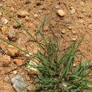 Image of Kunth's smallgrass