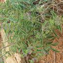 Image of <i>Endostemon tereticaulis</i> (Poir.) M. R. Ashby