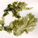 Image of <i>Protomonostroma undulatum</i>