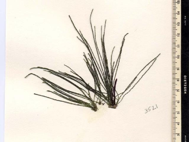 Image of <i>Chaetomorpha melagonium</i>