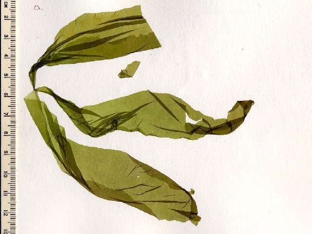 Image of <i>Monostroma</i>