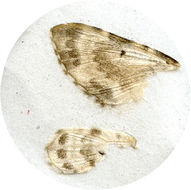 Image of <i>Tyloptera bella</i> Butler 1878