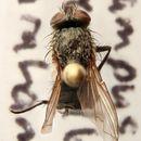 Image of <i>Pollenia rudis</i> (Fabricius 1794)