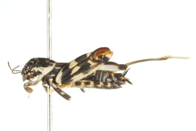 Image of <i>Ellipes gurneyi</i> Günther & K. K. 1977