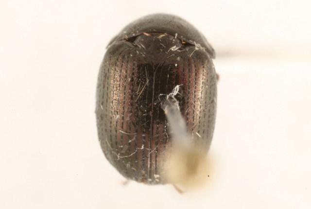 Image of Ceratocanthinae