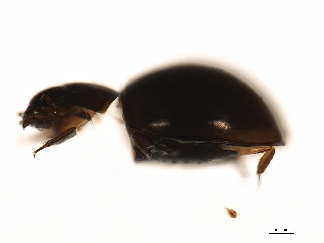Image of Sphaerius