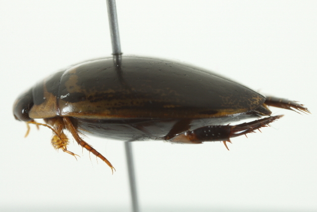 Image of Thermonectus