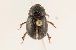 Image of Hybosorinae