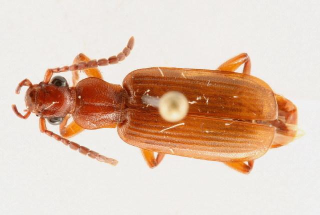 Image of Helluomorphoides