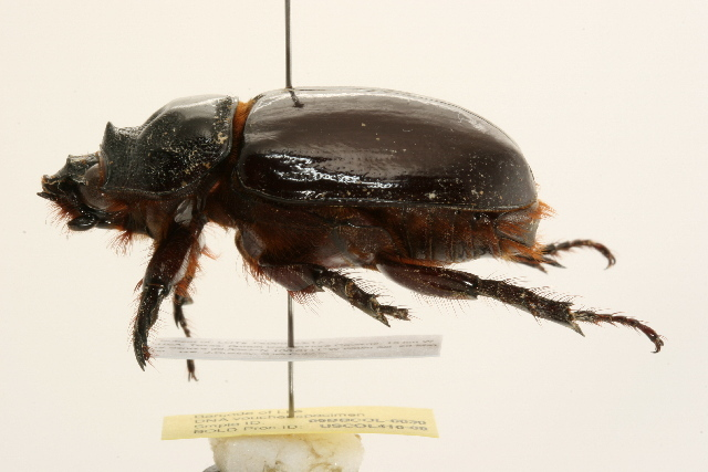Image of Ox Beetles