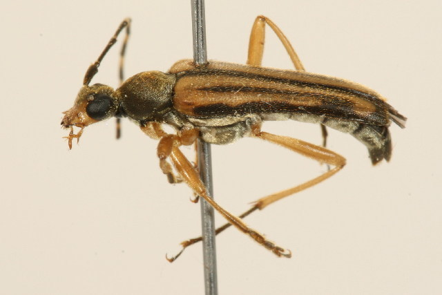 Image of Analeptura