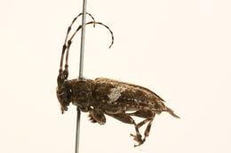 Image of Aegomorphus