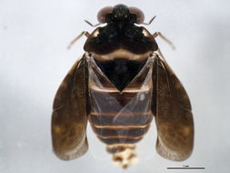 Image of <i>Ochterus americanus</i> (Uhler 1876)