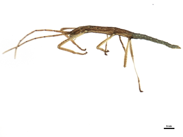 Image of true leaf insects