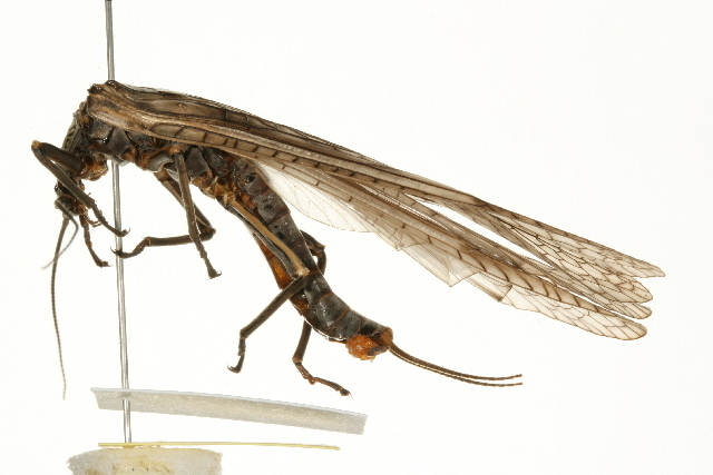 Image of Midwestern Salmonfly